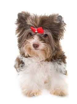 Puppy biro yorkshire terrier