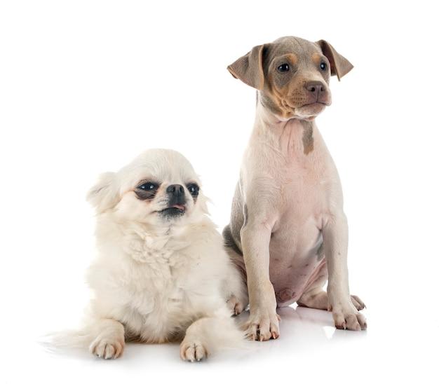 Puppy braziliaanse terriër en chihuahua