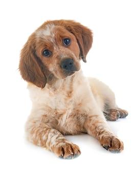 Puppy bretagne spaniel