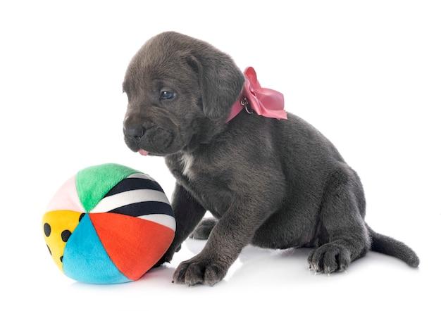 Puppy cane corso geïsoleerd op een witte achtergrond