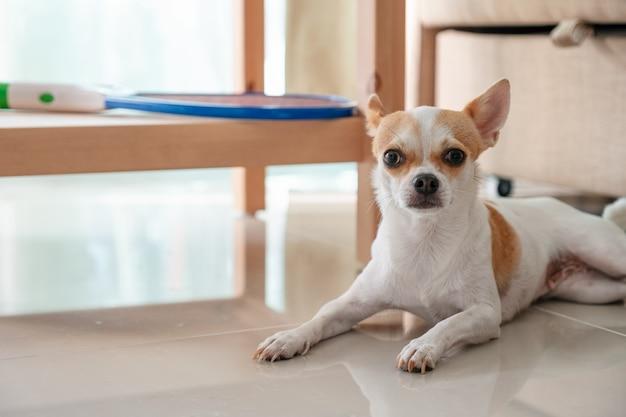 Puppy chihuahua die op de vloer legt