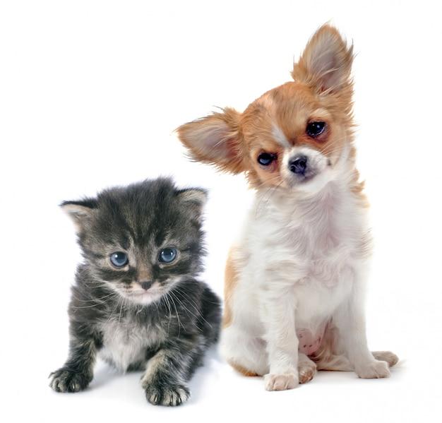 Puppy chihuahua en kitten