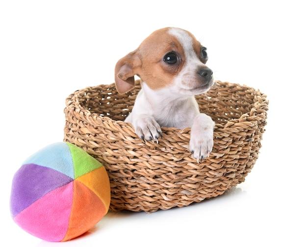 Puppy chihuahua in de studio