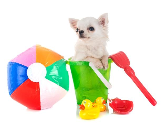 Puppy chihuahua in vakantie