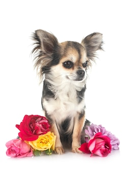 Puppy chihuahua voor witte achtergrond