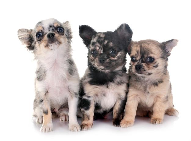 Puppy chihuahua voor witte ruimte