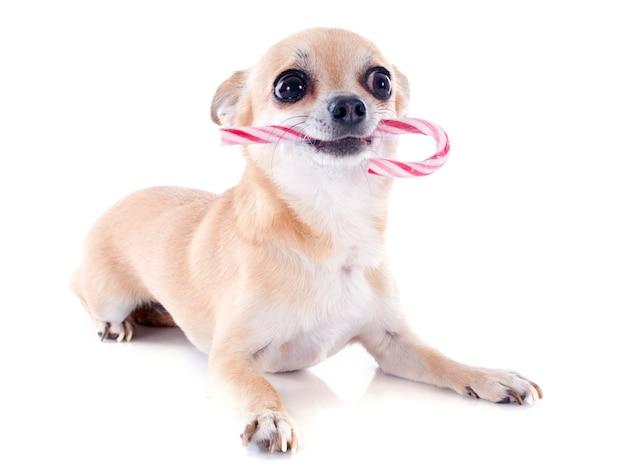 Puppy chihuahuaandeggeruiker