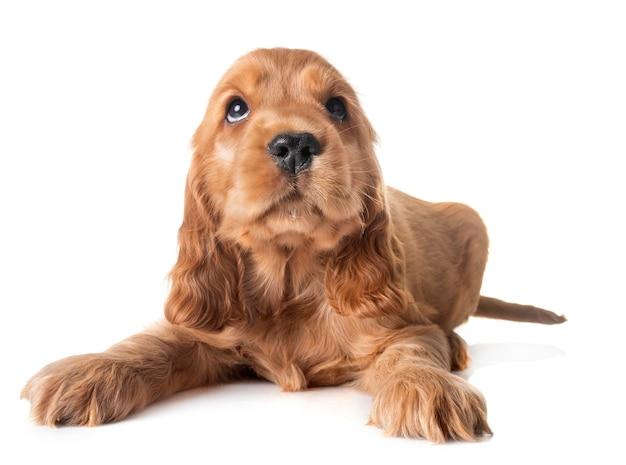 Puppy cocker-spaniël