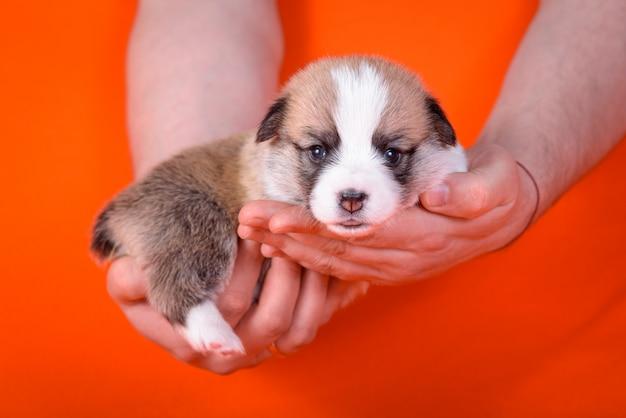 Puppy corgi is 1 maand oud en heeft mannen.