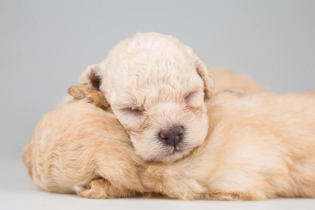 Puppy die op grijze achtergrond slapen
