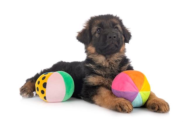 Puppy duitse herder