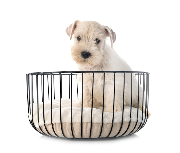 Puppy dwergschnauzer geïsoleerd