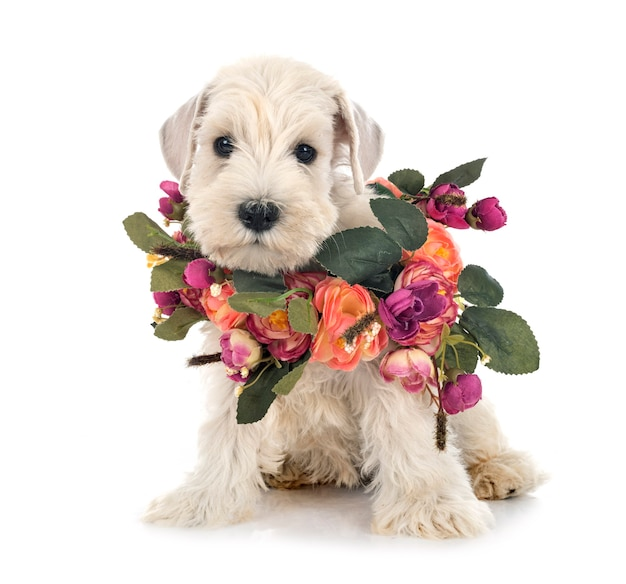 Puppy dwergschnauzer voor witte achtergrond