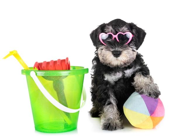 Puppy dwergschnauzer