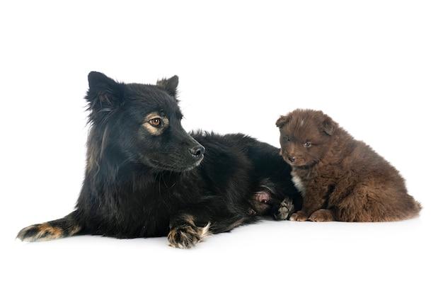 Puppy en volwassen finse lappenhond geïsoleerd op wit