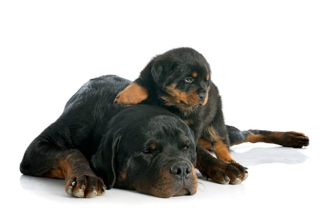 Puppy en volwassen rottweiler