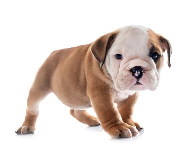 Puppy engelse buldog voor witte achtergrond