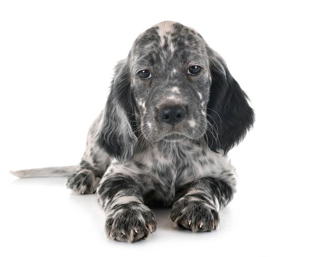 Puppy engelse zetter