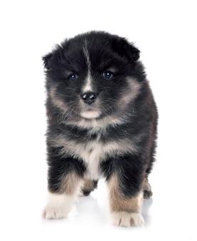 Puppy finse lappenhond geïsoleerd op wit Premium Foto
