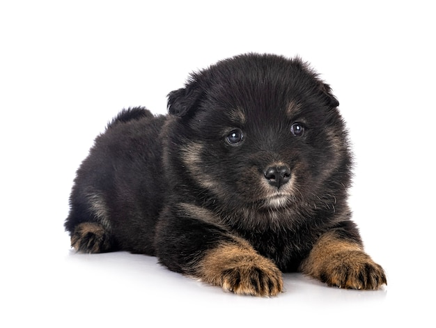 Puppy finse lappenhond geïsoleerd op wit