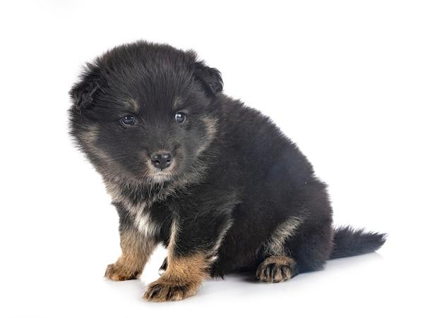 Puppy finse lappenhond voor witte muur