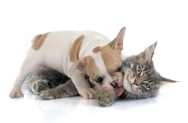 Puppy franse buldog en kat
