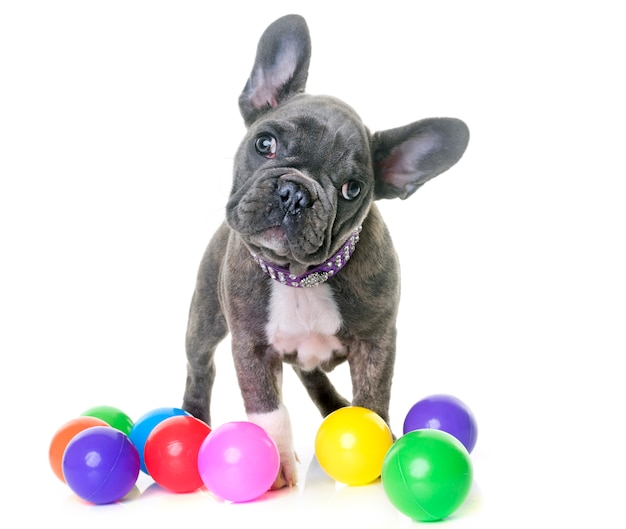 Puppy franse bulldog