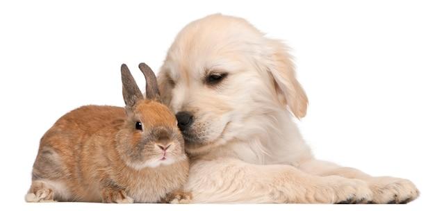 Puppy golden retriever (20 weken oud) en een konijn