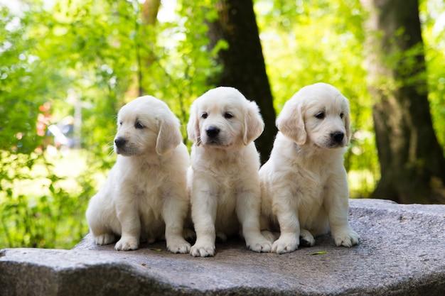 Puppy golden retriever pup poseren buitenshuis