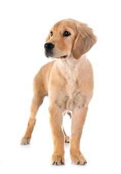 Puppy gouden retriever