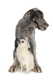 Puppy great dane en chihuahua