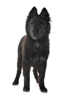 Puppy groenendael hond voor witte achtergrond