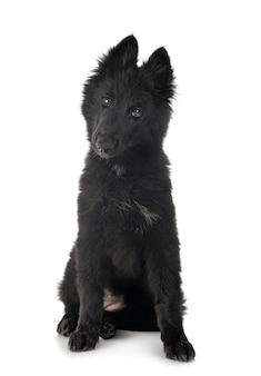 Puppy groenendael hond
