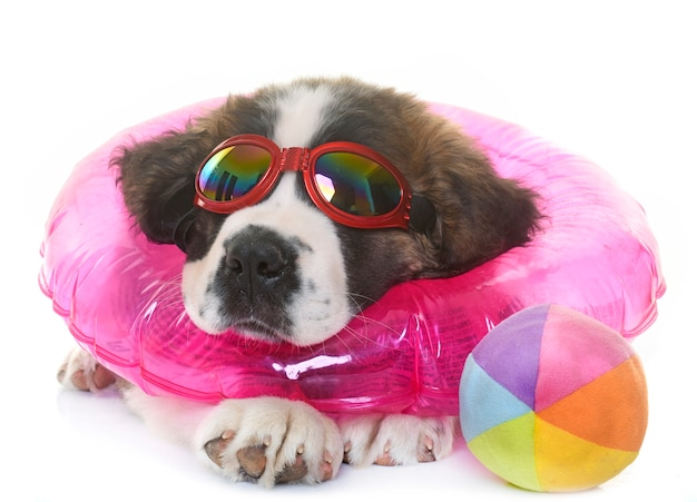 Puppy heilige bernard en zomer