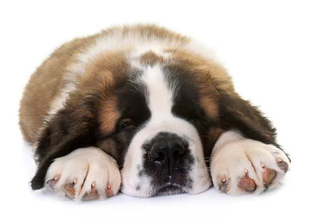 Puppy heilige bernard