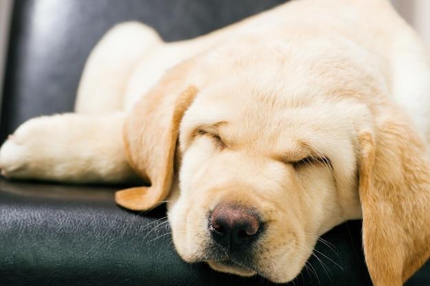 Puppy hond slaapt