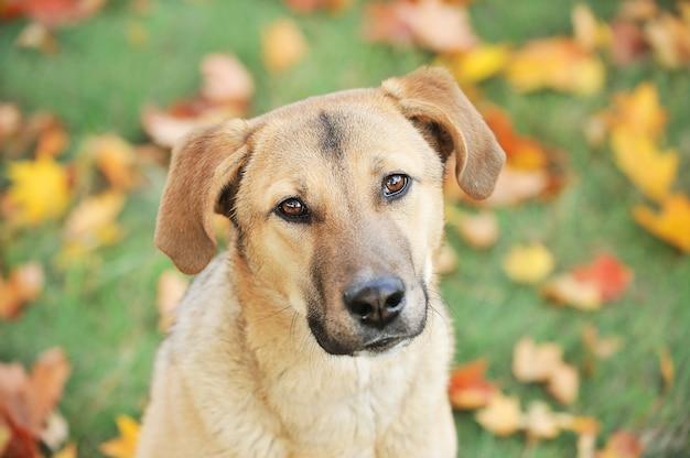Puppy hondje met droevige toegewijde ogen in herfst park over groen gras en gele bladeren