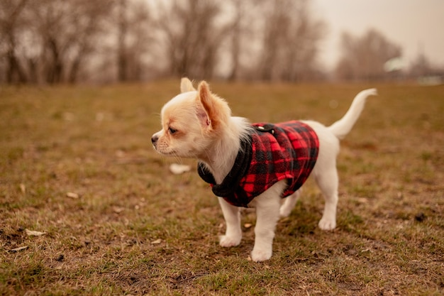 Puppy in de tuin. witte chihuahua pup in kleding. hond. witte pup in het voorjaar