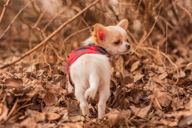 Puppy in de tuin. witte chihuahuapuppy in kleren. hond. witte puppy in de herfstbladeren