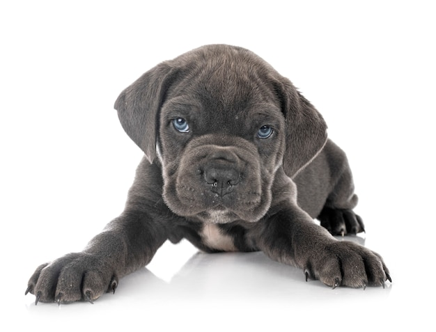 Puppy italiaanse mastiff geïsoleerd op wit