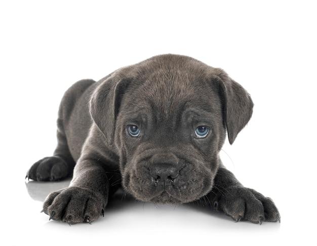 Puppy italiaanse mastiff geïsoleerd op wit Premium Foto