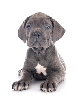 Puppy italiaanse mastiff geïsoleerd