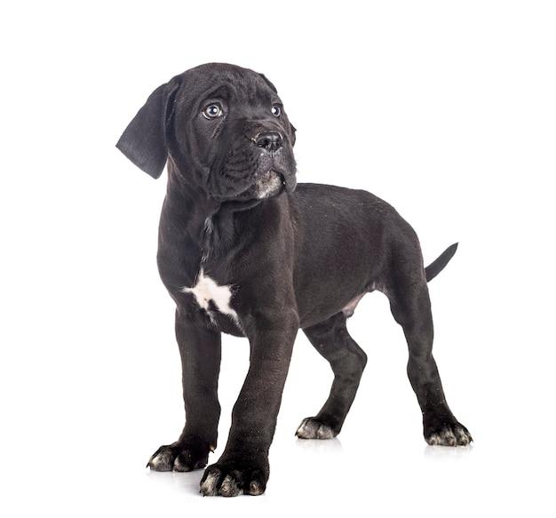 Puppy italiaanse mastiff voor witte achtergrond
