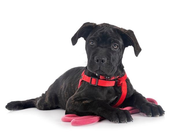 Puppy italiaanse mastiff voor witte ondergrond