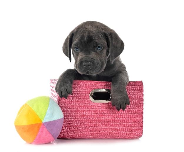 Puppy italiaanse mastiff