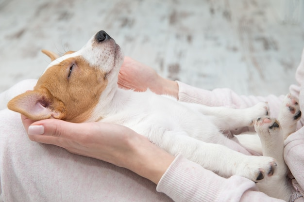 Puppy jack russell-hond die terier de handen slapen