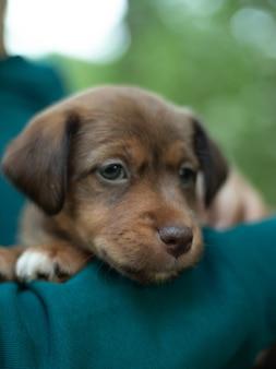 Puppy jack russell terrier slapen in de handen van de eigenaar. portret van een kleine hond.
