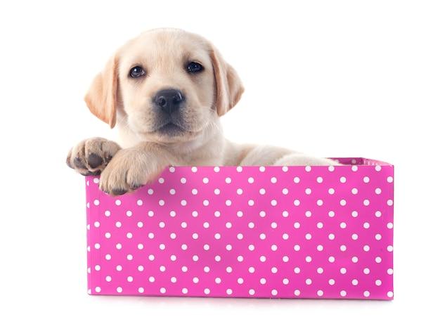 Puppy labrador retriever in doos