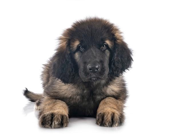 Puppy leonberger geïsoleerd