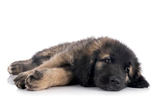 Puppy leonberger voor witte achtergrond